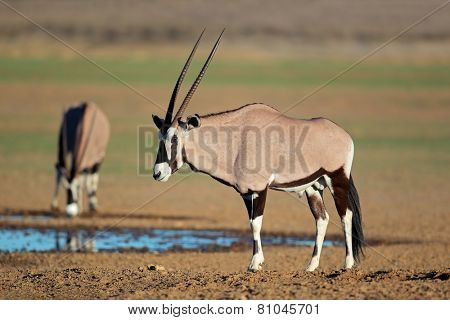 Gemsbok antelopes (Oryx gazella) at a waterhole, Kalahari desert, South Africa