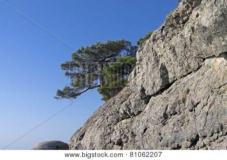 Relict Pine On A Rock. Crimea.
