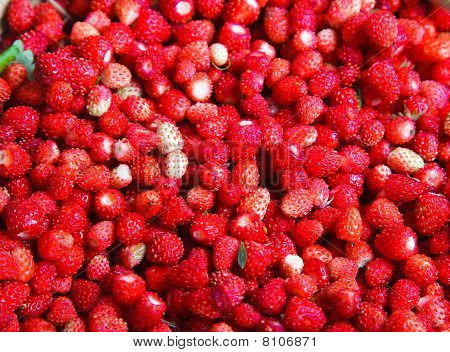 Fragaria Vesca, Woodland Strawberry