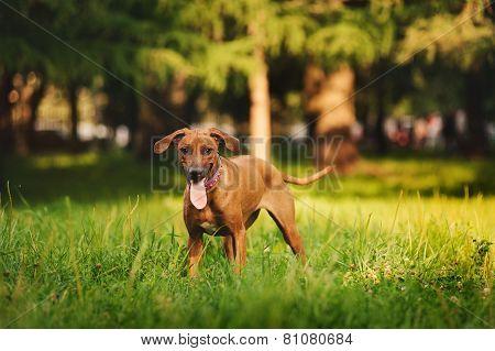 Rhodesian Ridgeback Dog Walking In Summer