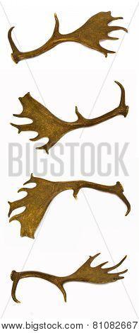 Fallow-deer antlers.