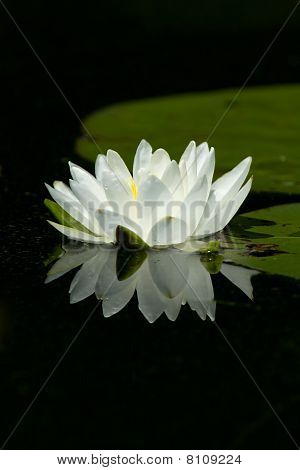 Wild White Lily Pad Flower With Reflection On Calm Water