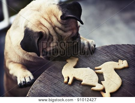 Pug puppy truing to get ferret shaped cookies
