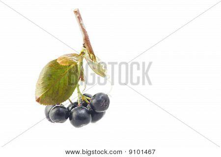 Black Chokeberry Aronia Melanocarpa Closeup