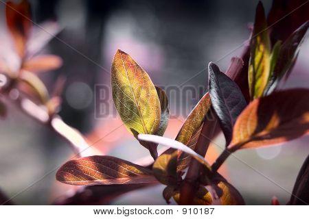 Trumpet Vine Leaf