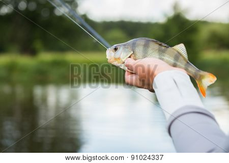 Fisherman holding a large perch.Man fisherman catches a fish.