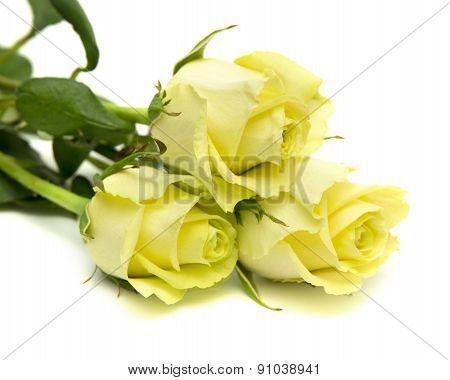 Yellow-green Rose