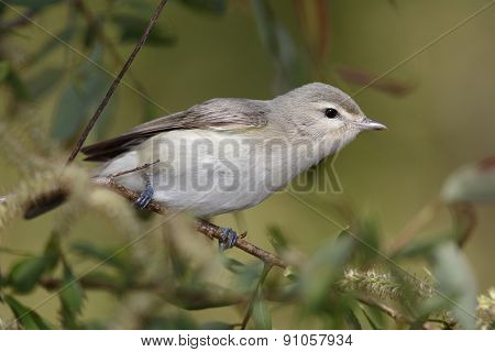 Warbling Vireo Perched On A Branch