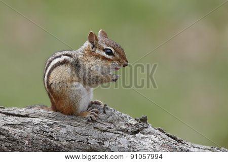 Eastern Chipmunk Sitting On A Fallen Log