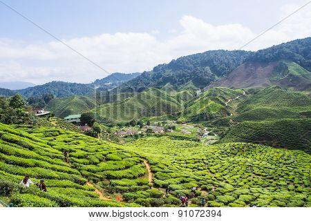 Cameron Highland, Malaysia- Feb8,2015: Tourist Travel To Tea Plantation Cameron Highlands, Malaysia