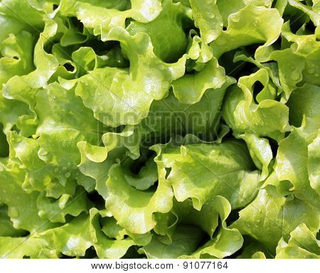 Background Of Fresh Green Salad