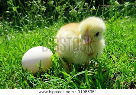 Little chicken and egg on the grass