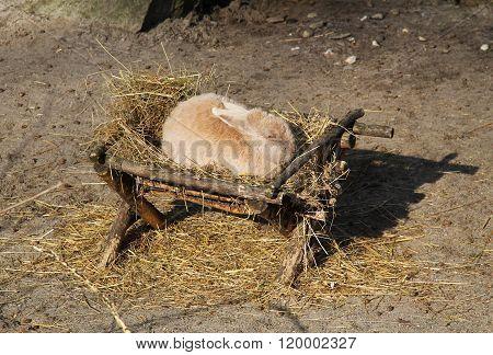 rabbit in the manger