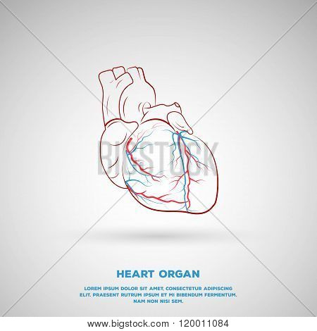 Outline Heart Organ illustration, includes artery and veins.