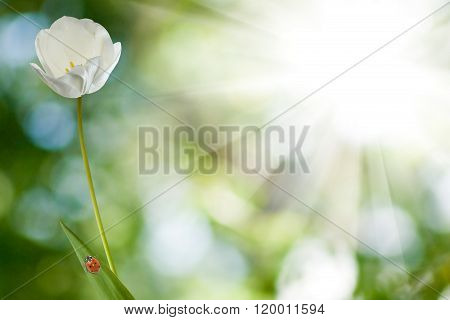 Image Of Ladybug On A Flower Tulip Against The Sun Closeup