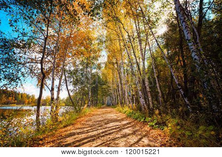 fall forest with golden birches, russian nature, golden birch trees