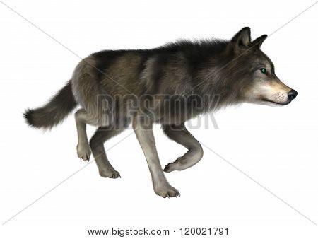 Wild Wolf On White