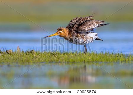 Black Tailed Godwit Shaking Feathers
