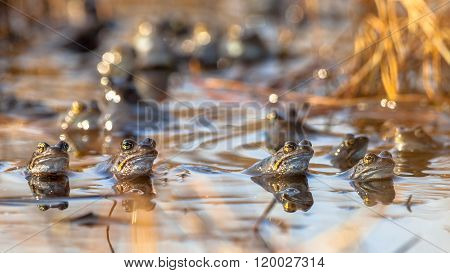 Group Of Mating Frogs