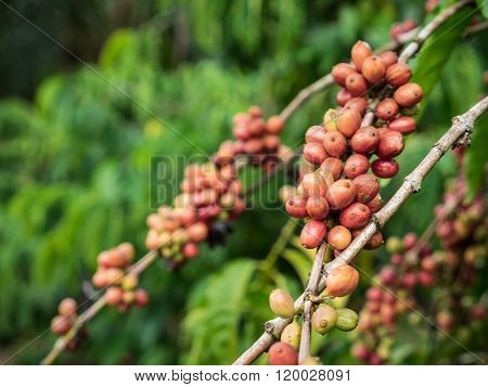 Coffee Seeds In A Plantation.