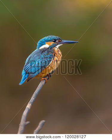 Common European Kingfisher Waiting