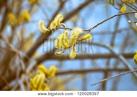 Spring Background With Yellow Buds Of Goat Willow