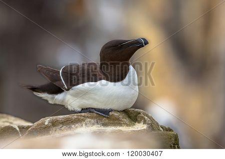 Razorbill Sitting On Rock