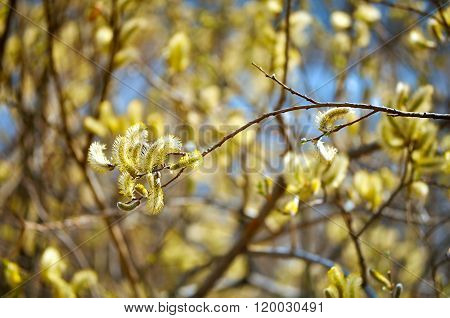 Spring Background With Yellow Buds Of Goat Willow In Sunlight