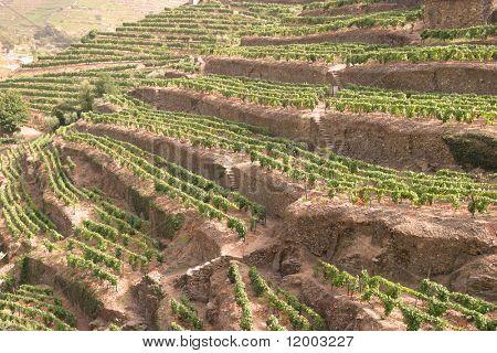 Portuguese port wine vineyards