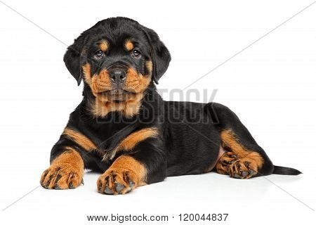 Rottweiler Puppy Lies Down On White