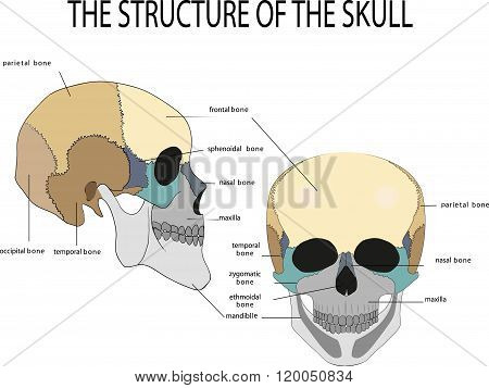 human skull anatomy medical illustration front and side view