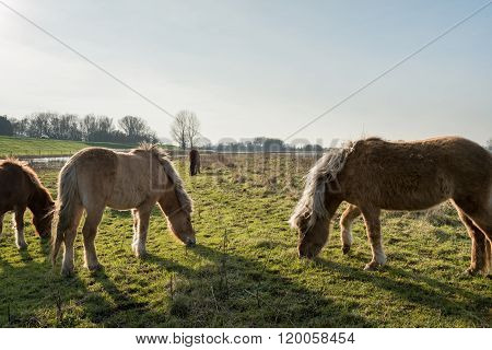 Icelandic Horses Grazing In A Dutch Nature Reserve