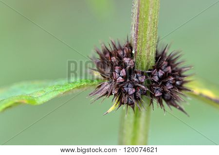 A herbaceous annual plant with white flowers, also known as brittlestem hempnettle, in the family Lamiaceae poster