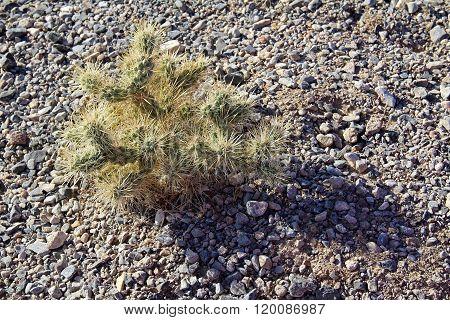 Top Of Cholla Cactus In California Desert. Usa.