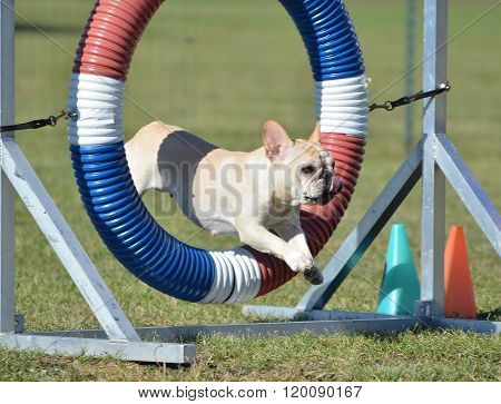 French Bulldog At Dog Agility Trial