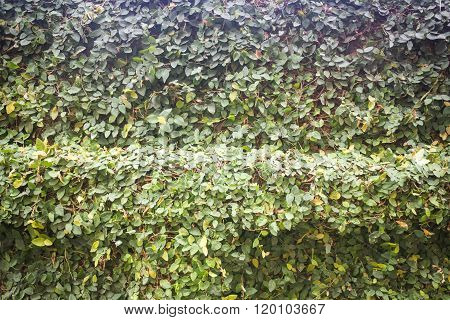 Green Ivy Plant Wall Background With Vintage Filter Effect
