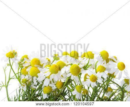Chamomiles isolated on white background. shallow depth of field.