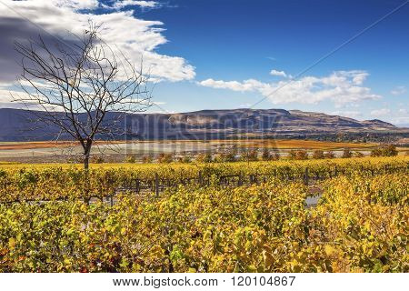 Yellow Leaves Vines Rows Grapes Fall Vineyards Red Mountain Bent