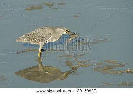 Portrait of a Striated Heron Eating a Mud Skipper
