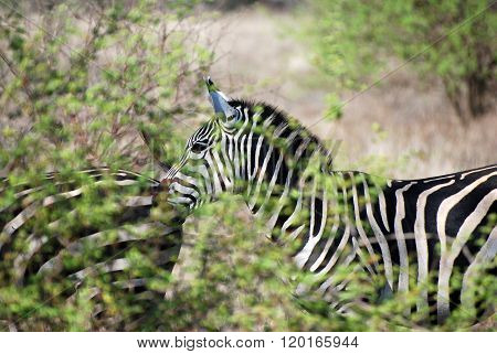 Zebra Behind Shrubbery In Tsavo-west Nationalpark