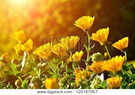 Bright Orange Flowers Of Calendula Under Sunset Light