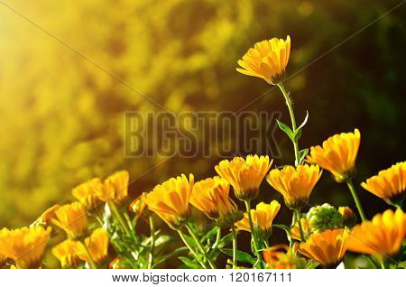 Bright Orange Flowers Of Calendula Under Sunset Light - Summer Background