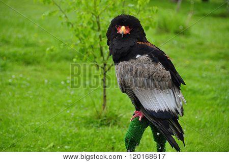 Bateleur Eagle/ Terathopius Ecaudatus/