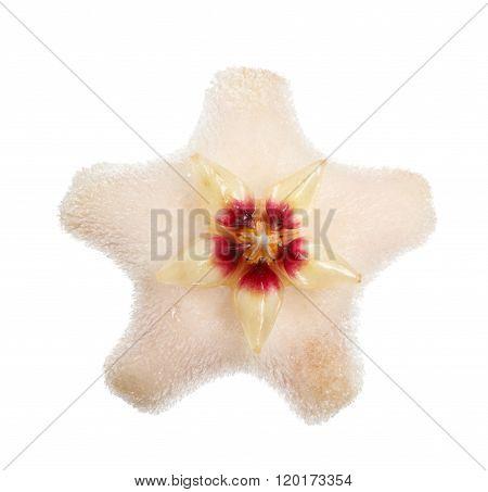 Wax Plant Starlet