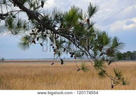 Pine tree branch at the marsh
