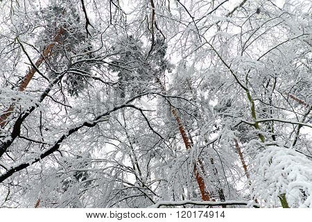 Bottom View Of The Forest And Tree In Winter With Snow