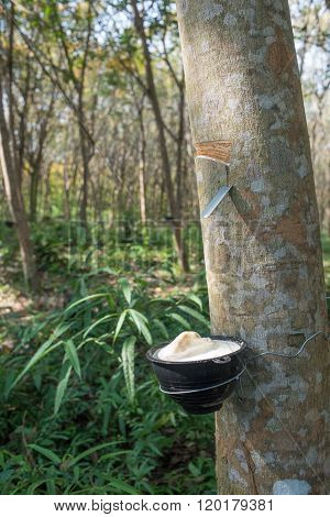 Rubber Tree Plantation, Thailand