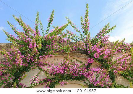 Bougainvillea Rambler Plant On A House Facade