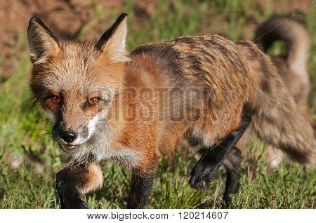 Red Fox Vixen (vulpes Vulpes) Closeup