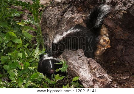 Baby Striped Skunk (mephitis Mephitis) Looks Over Log At Other